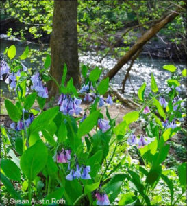Virginia bluebells next to Rock Creek.
