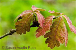 Newly emerged white oak leaves.