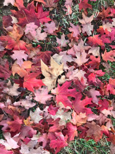 Red sugar maple leaves