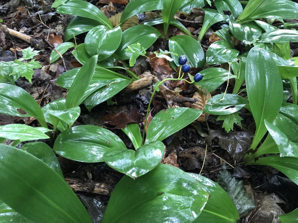 Clintonia lily leaves with blue fruit in New Hampshire's White Mountains.